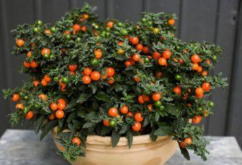 Como crescer Solanum. Cuidados em casa.