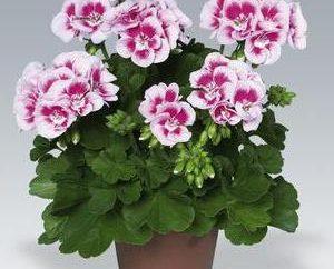 Zonale Pelargonium: beauté glamour