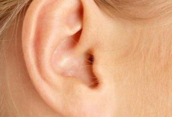 Organo uditivo: struttura anatomica e funzioni di dipartimenti principali