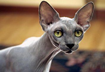 La más misteriosa raza de gatos – sphynx