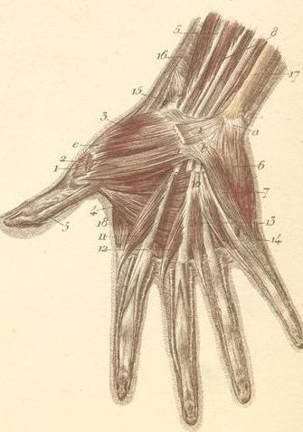 La estructura de la mano y la muñeca. La estructura anatómica de la mano