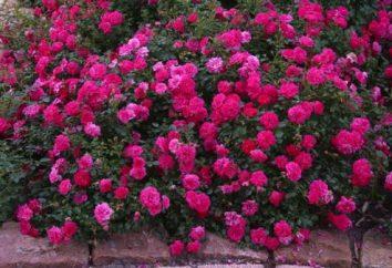rose tappezzanti (impianto e cura)
