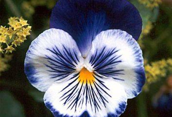 Superstition et légende de fleurs Pansy
