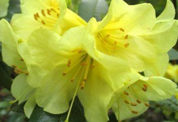 Rododendron. Rośnie. Właściwości pielęgnacyjne