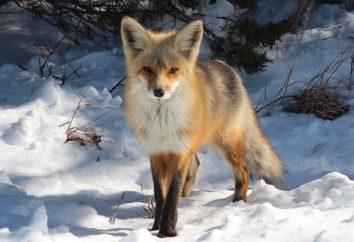 volpi rosse: descrizione, foto, classificazione