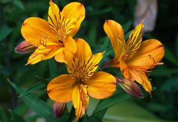 astrameriya Flor: el cultivo, uso y cuidado en ramos
