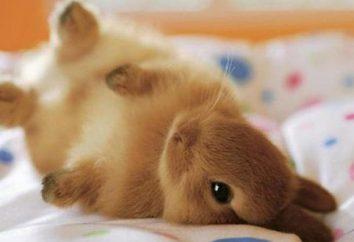 ¿Cómo distinguir la hembra de conejo macho? La cría de conejos para principiantes. conejitos