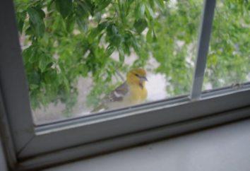 Che bussa un uccello nella finestra? Impariamo!