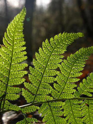 Reproduccion asexual plantas esporas-bravas