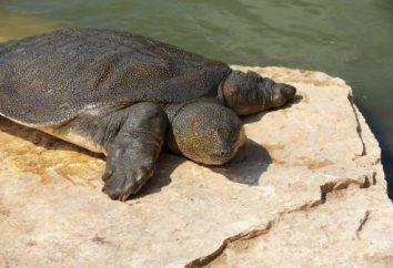 Ile naprawdę żyje żółw?
