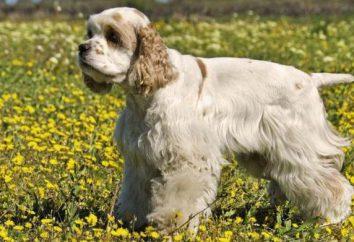 Psy rasy Cocker Spaniel amerykański: charakter, pielęgnacja i żywienie