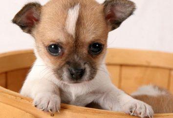Jak dbać o Chihuahua? Utrzymanie, wychowanie Chihuahua