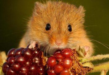 souris de récolte eurasienne: photo et la description