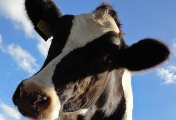 Quelles sont la race des vaches? Combien coûte une vache?