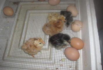 Éclosion poussins dans un incubateur à la maison