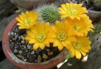 Fleurs de cactus – quelle vue?
