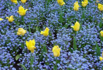 Nomeolvides jardín: plantación y cuidados
