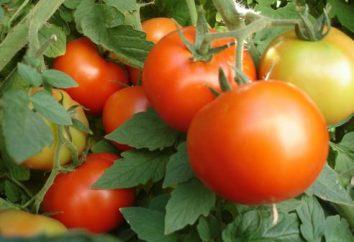 tomates à faible croissance pour le sol ouvert. tomates faibles qui ne nécessitent pas pasynkovaniya. tomates sous-dimensionné récolte