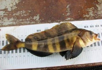 grosa peixe e seu habitat