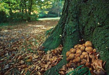 Pholiota de ouro – cogumelos reais