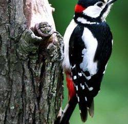 Spotted Woodpecker – Bird-amante!