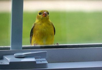 Un uccello volò in casa – un segno bianco o superstizione?