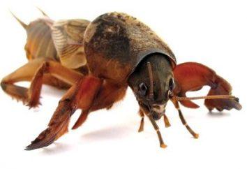 cricket Sly e astuto! Como combatê-la – aprender com o nosso artigo!