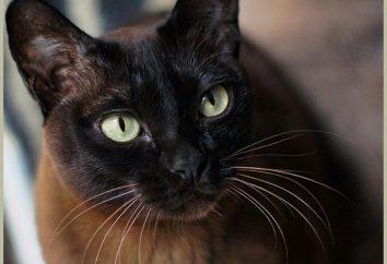 Birmańskie koty rasy: charakter i zdjęcia