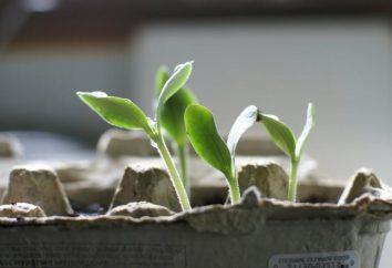 Come coltivare un cetriolo su un davanzale: istruzioni passo per passo