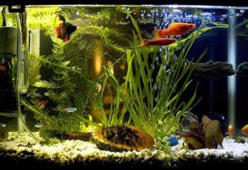 Ryby akwariowe Kogucik – konserwacja, pielęgnacja oraz kompatybilność z innymi rybami