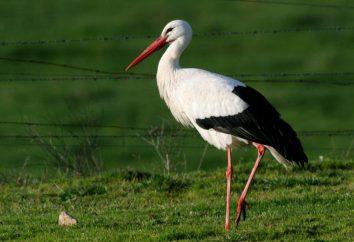 Que manger Cigognes? Volaille Stork: types, description, photos, habitat