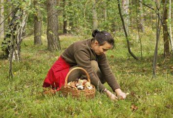 cogumelo Memo: as regras da campanha florestal, colheita e preparação