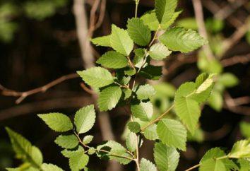 Ulmus pumila: Opis rośliny