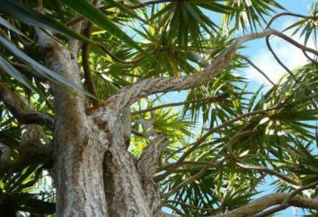 espèces de Dracaena. Les plantes d'intérieur les plus populaires