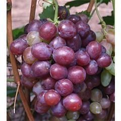 Senator winogron: opis różnorodności i osobliwości kultywacji
