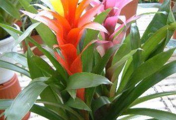 Beauté Broméliacées – soins à domicile