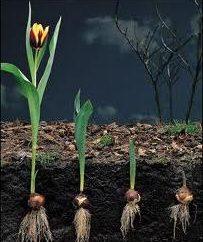 Tulipes: la transplantation et la préparation pour la prochaine saison