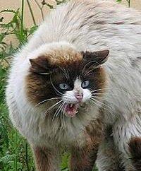 Su gato macho castrado requiere un cuidado especial