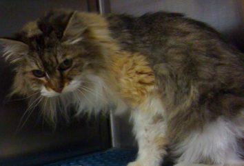 tumores mamarios en gatos: síntomas, tratamiento, pronóstico