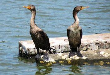 Kormoran – ptak-ichtiophophous