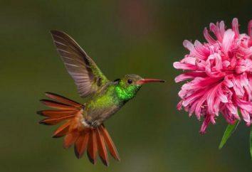 Ciekawostki o kolibry dla dzieci