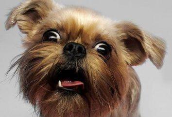 Griffon – petit chien belge. Description de la race, de la personnalité et de soins