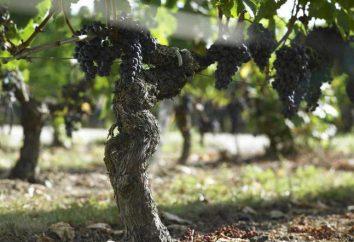 """Uvas """"Merlot"""": aplicação, dignidade, grau de qualidade"""