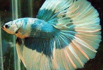 Zabawne i piękne kogutiki z rybami. Zawartość betty w domu