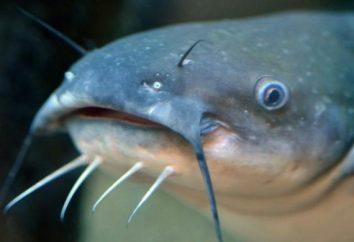 Ryby sum. informacje ogólne