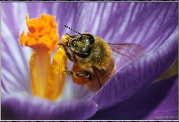 Combien de vies abeille, et pourquoi dépend de la durée de sa vie