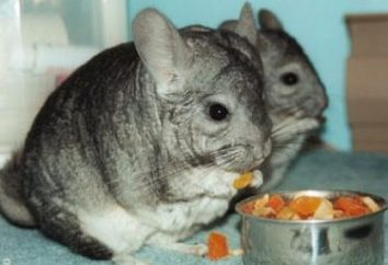 Ce chinchilla manger?