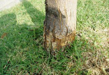 Plus Arrosez l'arbre à dépérir plus vite?