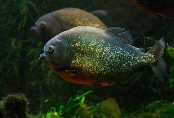 poissons Piranha: description et les photos