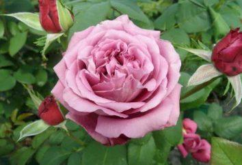 Rose Klod Brasser (Claude Brasseur): descrizione, la coltivazione, la cura e recensioni